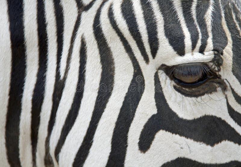 Download Zebra - closeup stock image. Image of mammals, mountain - 6637549
