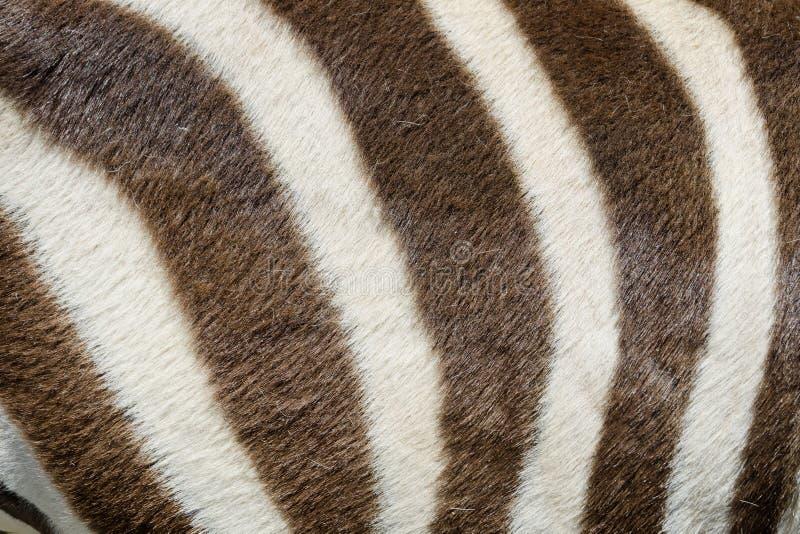 Download Zebra closeup stock image. Image of jungle, savanna, looking - 31279239