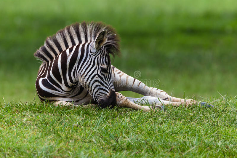 Zebra Colt Resting. Zebra young colt calf laying down resting on summer grass in a wetland park reserve stock photo