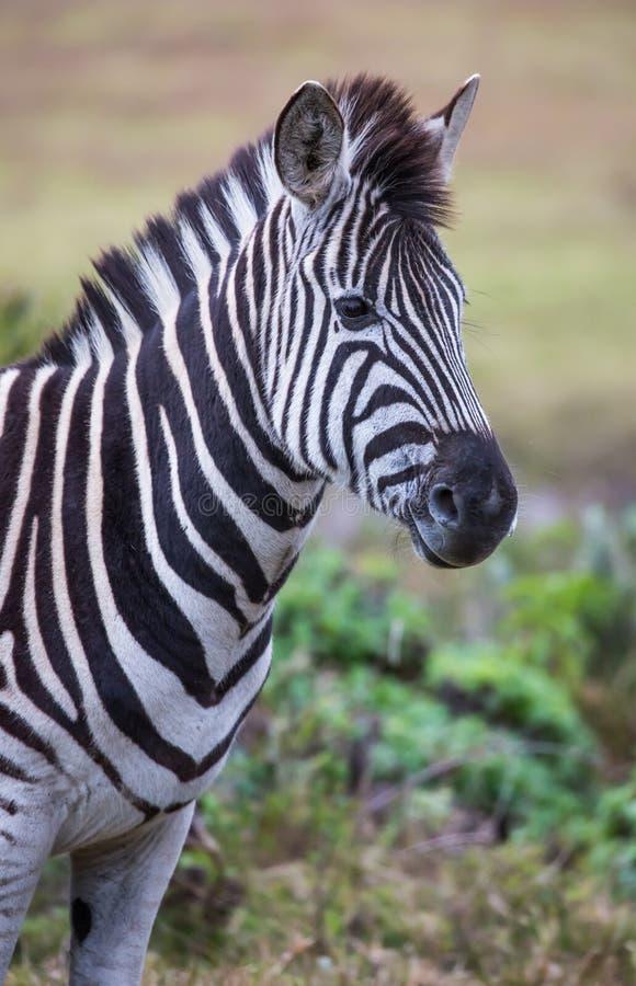 Zebra com as listras preto e branco em África foto de stock