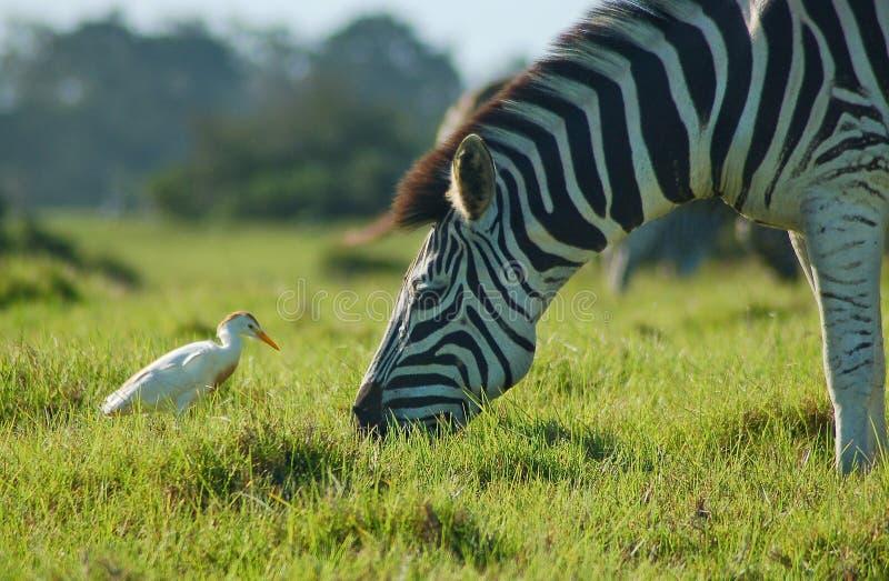 Zebra com egret África do Sul fotografia de stock