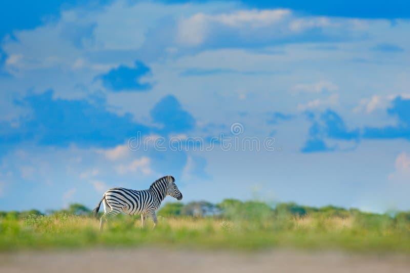 Zebra com o céu azul da tempestade com nuvens A zebra de Burchell, burchellii do quagga do Equus, Mana Pools, Zimbabwe, África An foto de stock