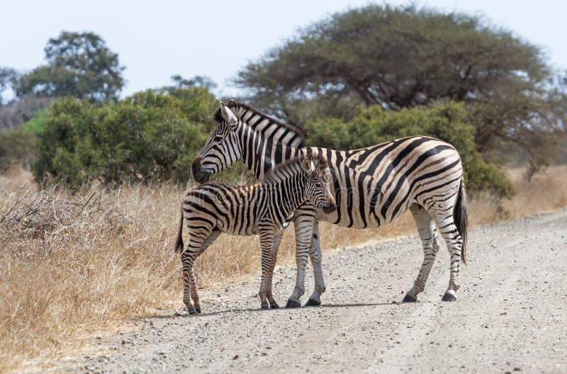 Zebra com posição do potro imagens de stock