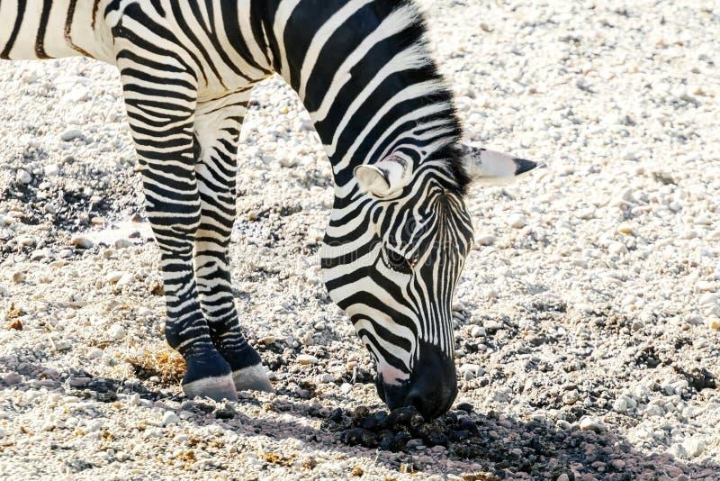 A zebra comum de Burchelli do Equus da zebra das planícies fotos de stock royalty free