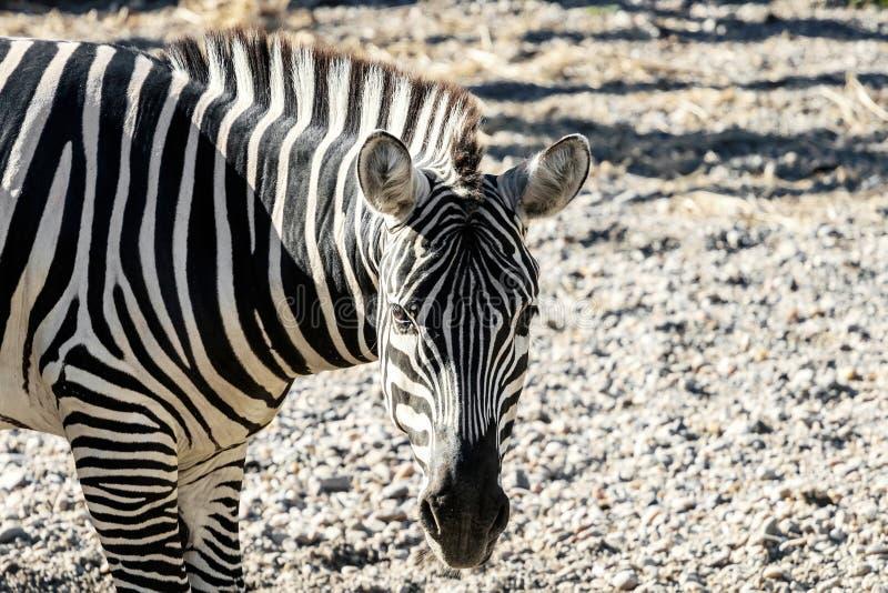 A zebra comum de Burchelli do Equus da zebra das planícies fotografia de stock royalty free