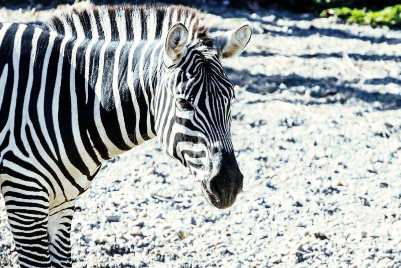 A zebra comum de Burchelli do Equus da zebra das plan?cies foto de stock royalty free