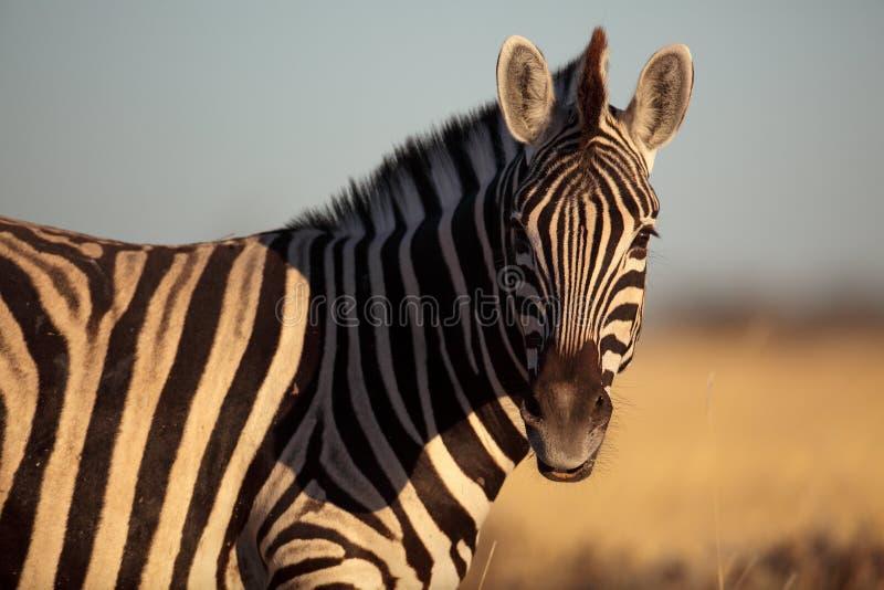 Zebra comum de Namíbia fotografia de stock royalty free
