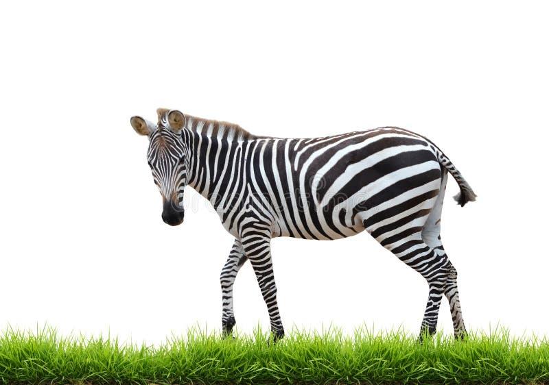 Zebra con erba verde isolata fotografie stock libere da diritti