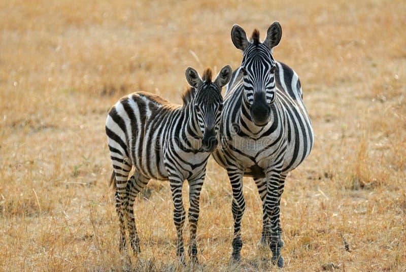 Zebra con il foal fotografia stock libera da diritti