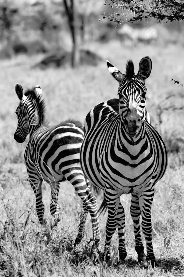 Zebra con il puledro sveglio, zebra con il bambino, giovane zebra con pelliccia molle in Serengeti, Tanzania, fotografia in bianc fotografia stock