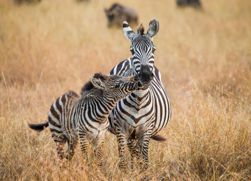 Zebra con un bambino kenya tanzania Sosta nazionale serengeti Maasai Mara fotografia stock libera da diritti
