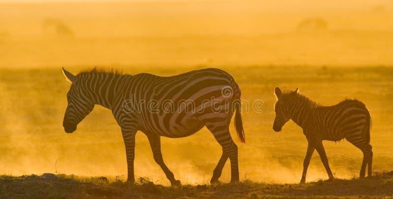 Zebra con un bambino nella polvere contro il tramonto kenya tanzania Sosta nazionale serengeti Maasai Mara immagini stock