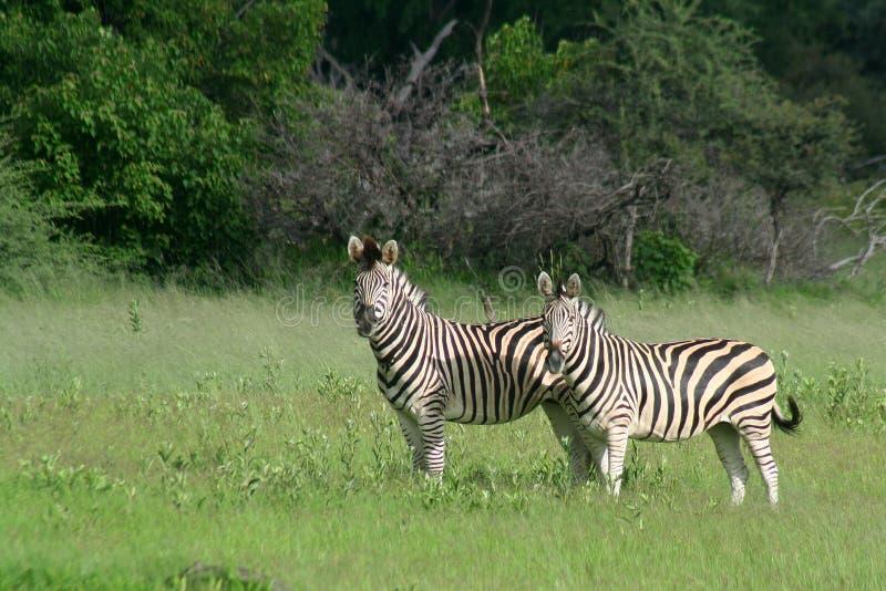 Zebra couple in the Okavango royalty free stock images