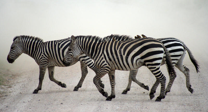 Zebra crossing. Dusty road in Kenya carrying oxpeckers royalty free stock photography