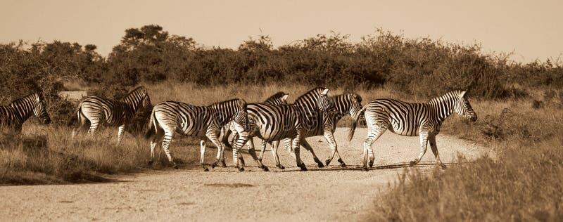 Download Zebra crossing stock photo. Image of environment, nobody - 25158034