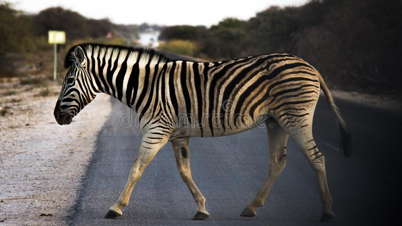 Zebra crossing an asphalt road in Africa royalty free stock photography