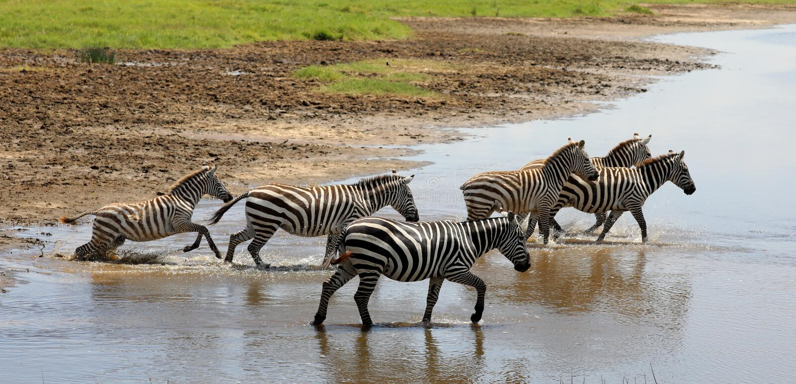 Zebra crossing a river n masai mara. Zebra in the masai mara game park stock image