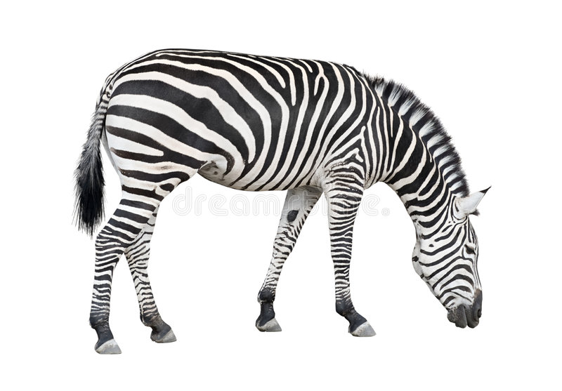 Zebra cutout stock photos
