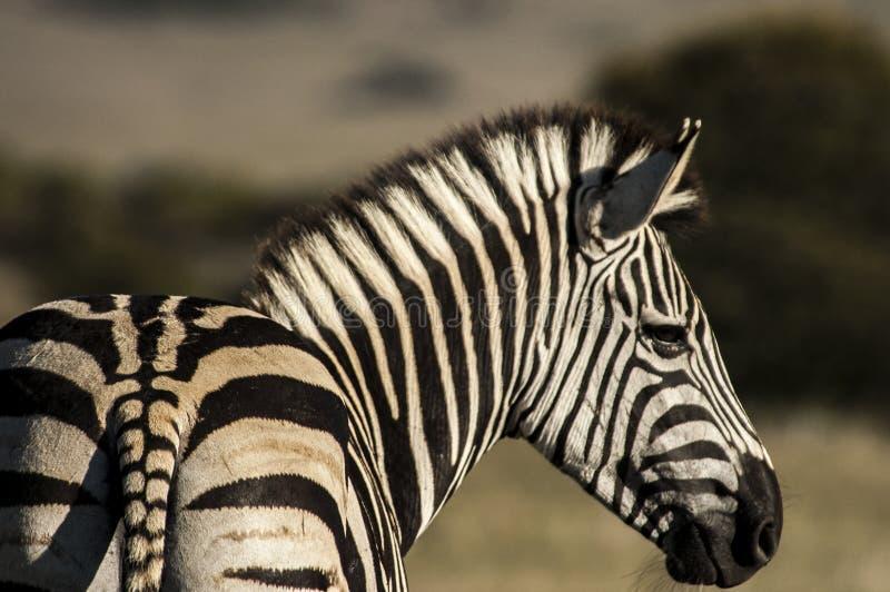 Zebra da dietro lo sguardo al lato fotografia stock libera da diritti