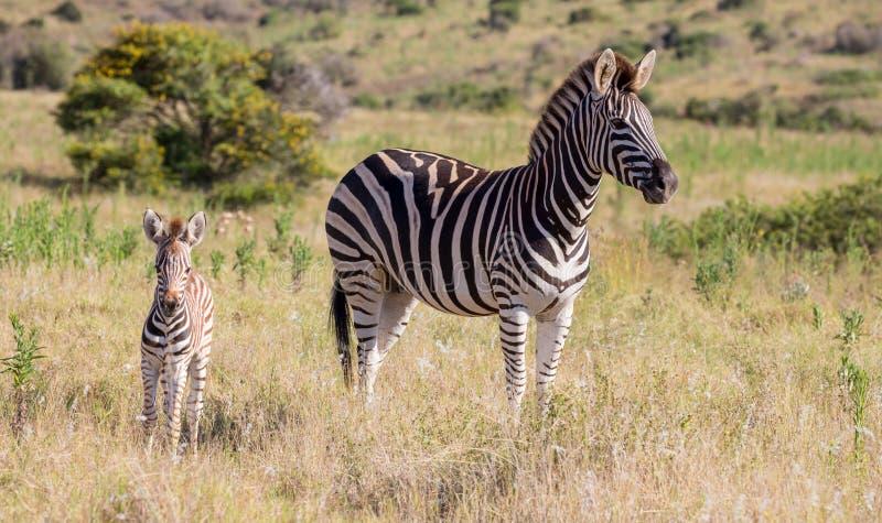 Zebra da mãe e seu potro imagem de stock royalty free