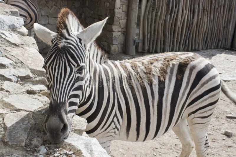 Zebra damara stock photography