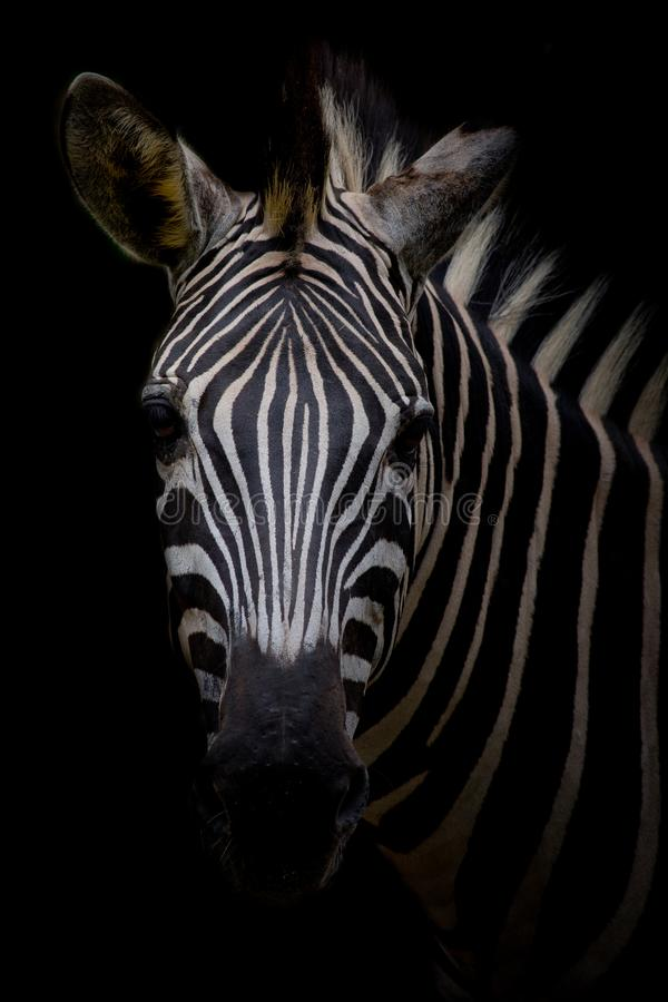 Zebra on dark background. Black and white image royalty free stock images