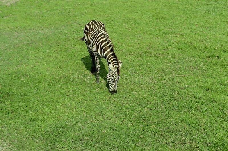 Zebra, das auf dem grünen Gras steht stockfoto