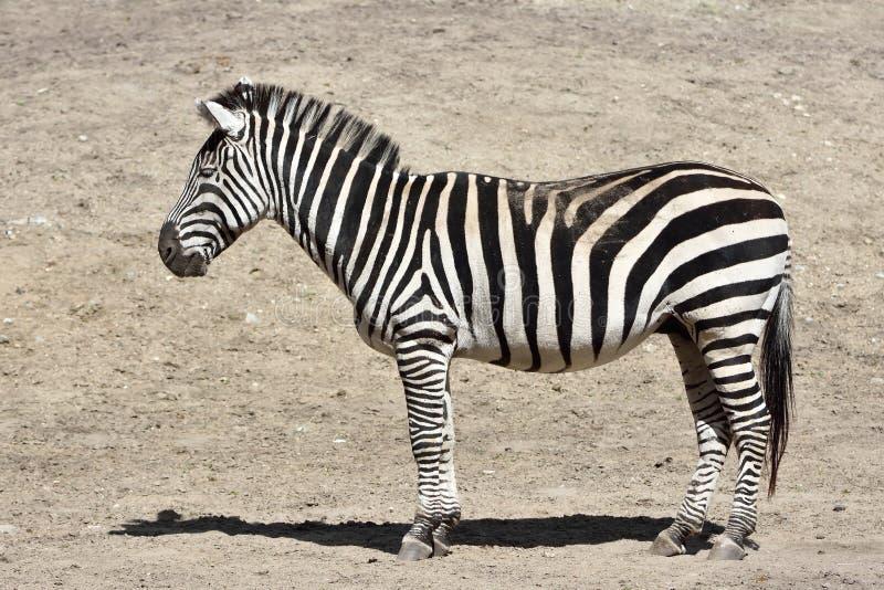Zebra das concessões (boehmi do burchelli do Equus) fotos de stock