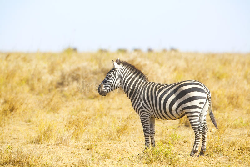Zebra, das an den Großen Ebenen von Serengeti steht stockfotografie