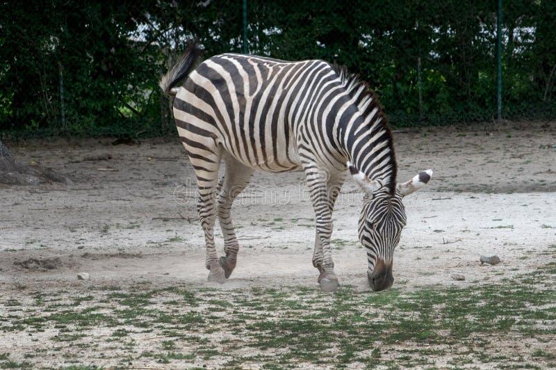 Zebra, das in einem Lebensraum weiden lässt lizenzfreie stockfotos