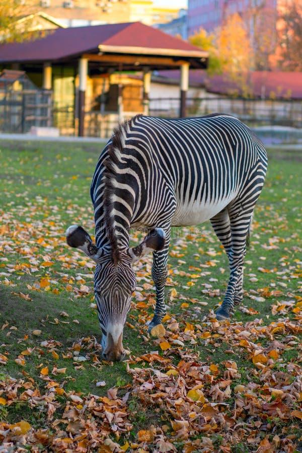 Zebra, das Herbst gefallene Blätter in einem Stadtpark isst lizenzfreie stockfotos
