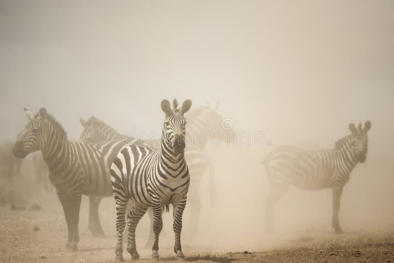 Zebra, das im Staub, Serengeti, Tansania steht stockfotos
