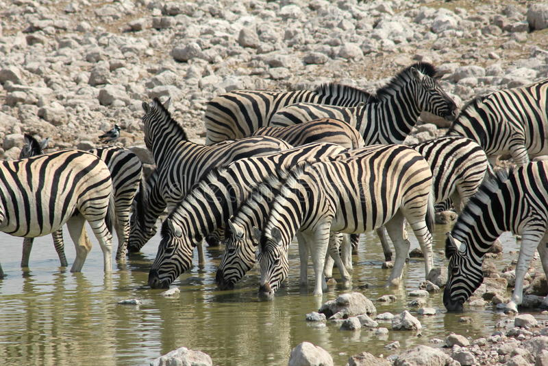 Zebra, das in Namibia trinkt lizenzfreies stockbild