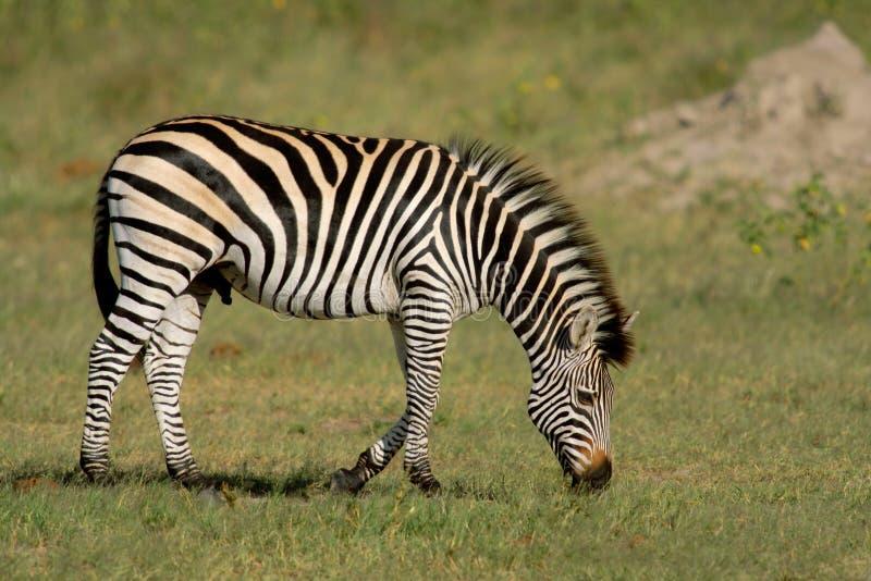 Zebra das planícies fotografia de stock