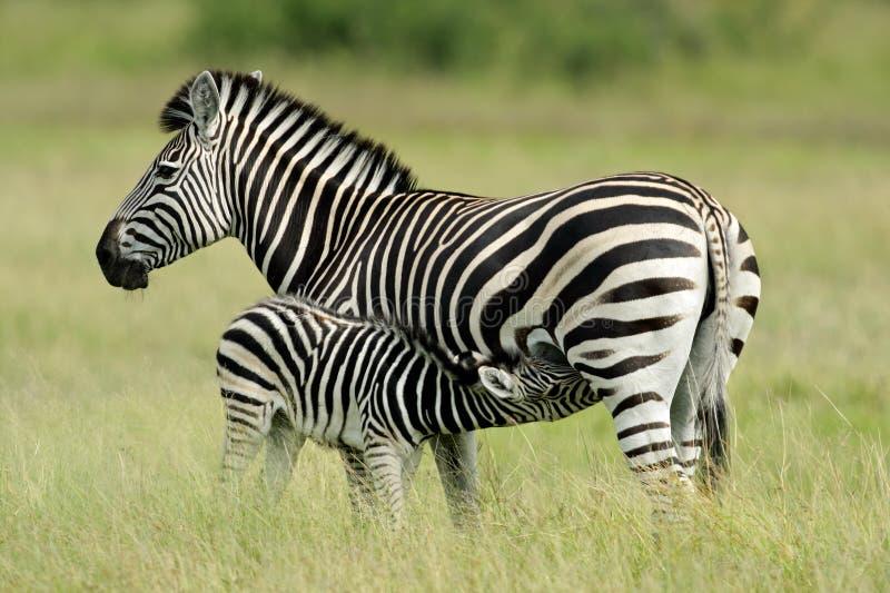 Zebra das planícies com potro foto de stock