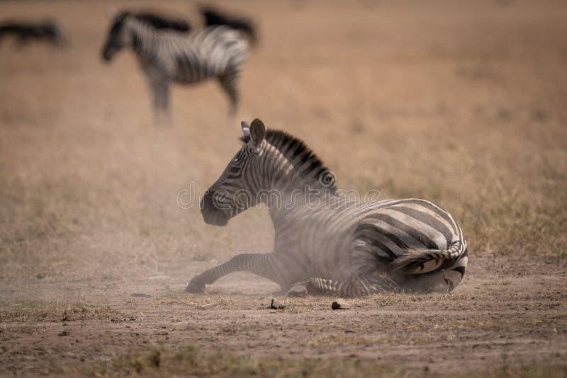 A zebra das planícies encontra-se na poeira no savana imagem de stock royalty free