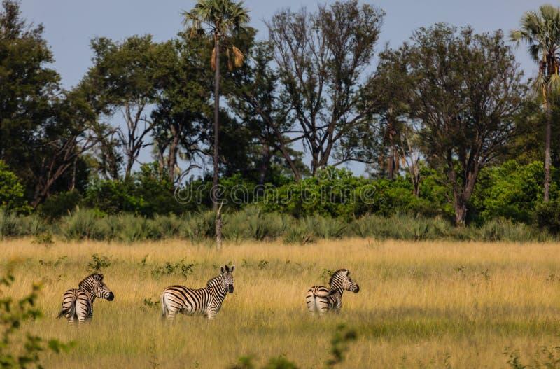 A zebra das planícies pasta nas pastagem do parque nacional de Chobe, Botswana imagem de stock royalty free