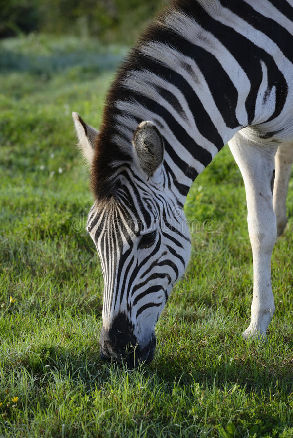 Zebra das planícies que forrageia em Addo Elephant National Park fotografia de stock