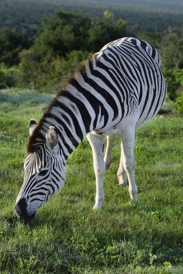 Zebra das planícies que forrageia em Addo Elephant National Park imagens de stock royalty free