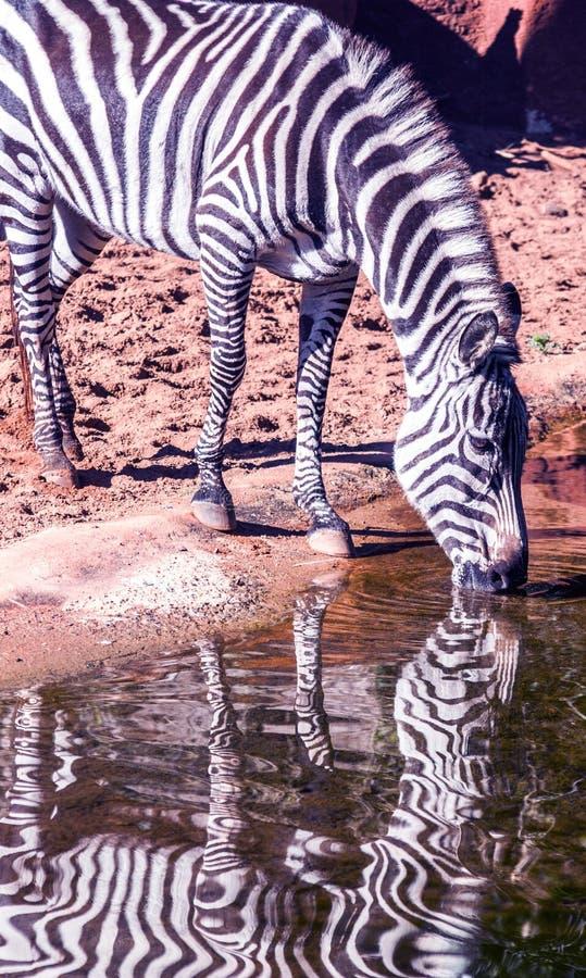 Zebra, das von einem Waterhole trinkt stockfotografie