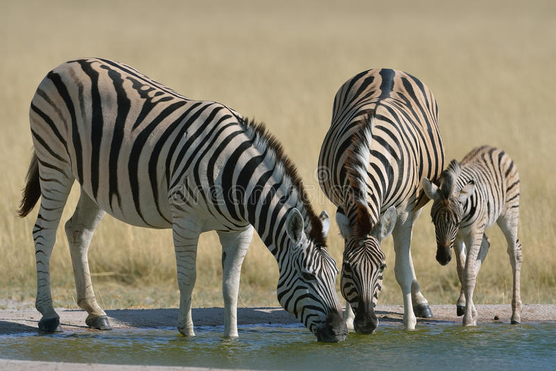 Zebra, das am waterhole in Nationalpark Etosha, Namibia trinkt stockbilder