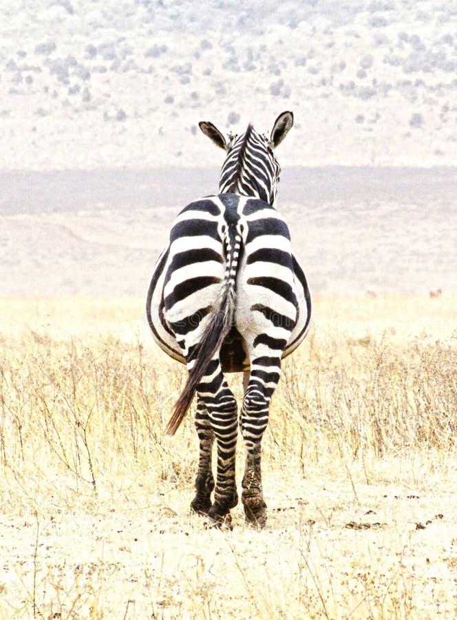 zebra de atrás, parque nacional do serengeti imagem de stock
