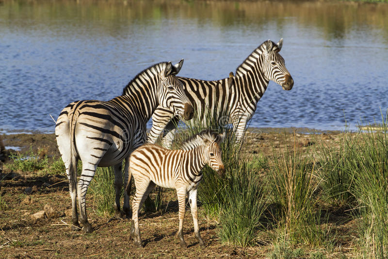 Zebra de Burchell's no riverbank no parque nacional de Kruger fotografia de stock royalty free