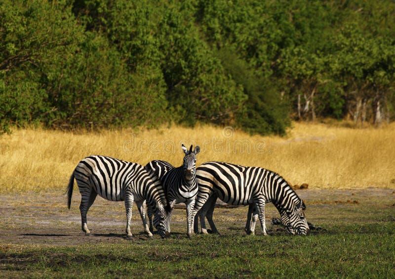 A zebra de Burchell bonito nas planícies africanas imagens de stock royalty free