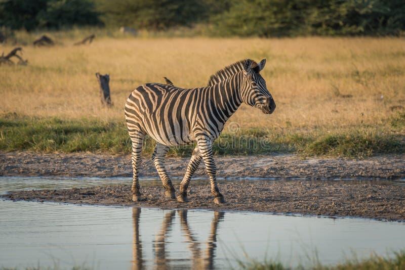 A zebra de Burchell com oxpecker amarelo-faturado ao lado do rio imagem de stock royalty free