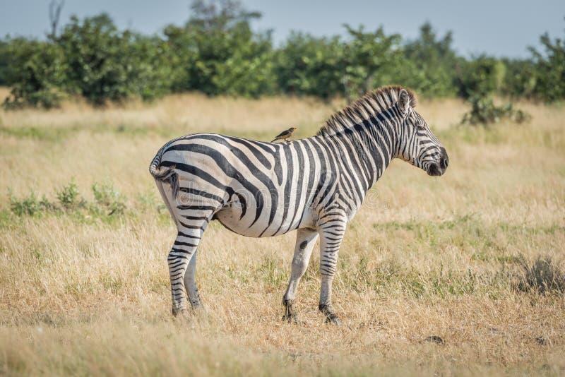 A zebra de Burchell com parte traseira amarelo-faturada do oxpecker sobre fotos de stock royalty free