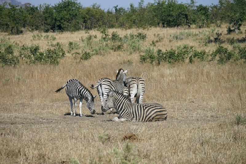 Zebra de Burchell do africano no jogo da região selvagem fotos de stock
