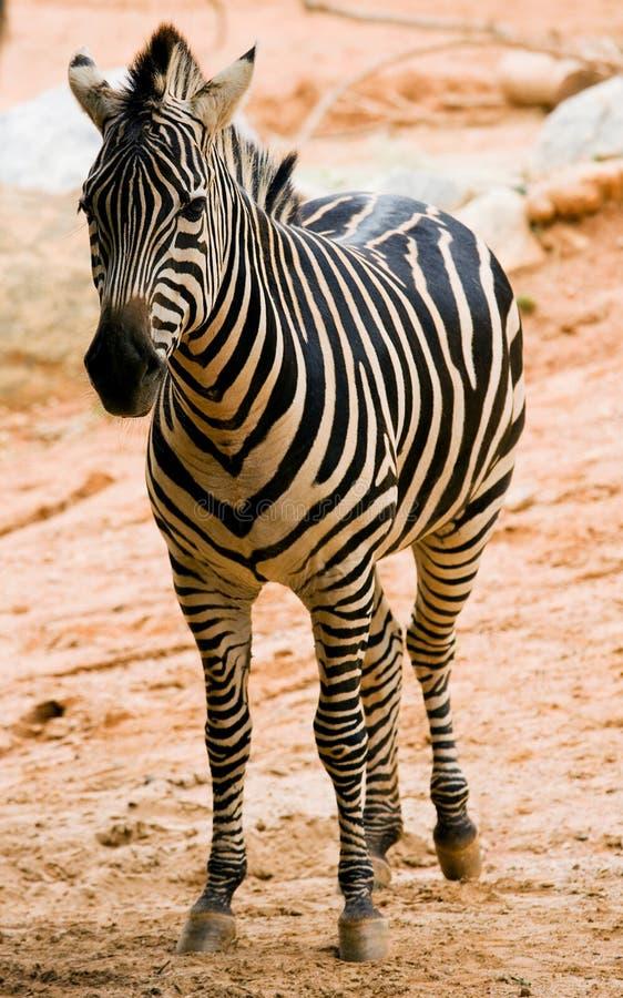 Download Zebra in de dierentuin stock foto. Afbeelding bestaande uit savanne - 10778262