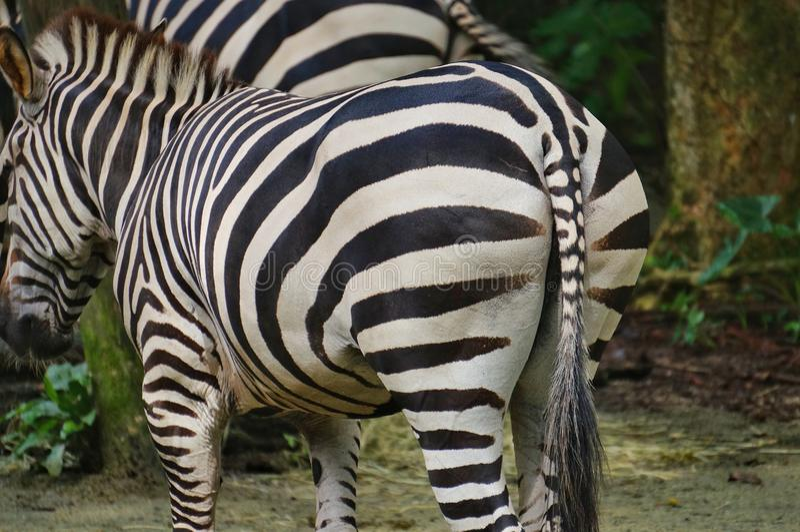 Zebra in de dierentuin royalty-vrije stock fotografie