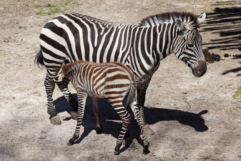 A zebra de Grant (boehmi do quagga do Equus) que alimenta seu potro fotografia de stock
